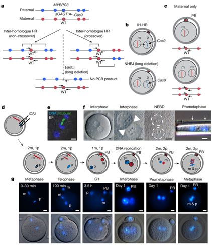 人类胚胎基因修复不再遥远?纠正常见但致命的突变
