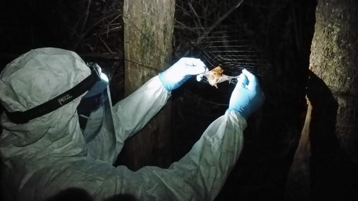 蝙蝠体内发现第六种埃博拉病毒:可能感染人类